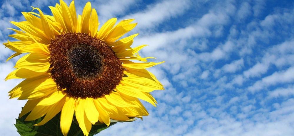 Sonnenblume Neu